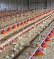Линия кормления для бройлеров, линии кормления для птичников