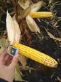 ћонблан - ¬ысокоурожайный гибрид кукурузы