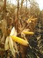 Муасон - холодостойкий гибрид кукурузы
