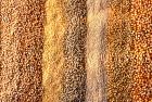 Продаємо пшеницю фуражну