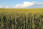 "анадские семена пшеницы јрвада, ""оледо, ""есла, ќмаха"