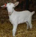 Продам козликов - улучшателей молочной продуктивности