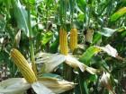 Семена зерновой кукурузы