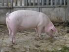 Продам свиньи живим весом