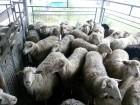 Куплю живих баранів, овець