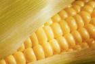Продам семена кукурузы ЛГ 3350 от Limagrain 2016 г.