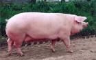 Продам свині мясні