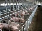 продам хорошие товарные свиньи 120 150 кг 30 грн за кг