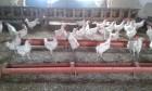 домашнее куриное ¤йцо
