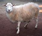 куплю овец, овцу, баранов, ягнят.