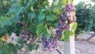 Продам столовый виноград оптом