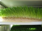 Гидропонный зеленый корм(ГЗК), комбикорм, корм КРС, свиней, кур, крол