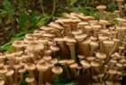 Куплю свежий гриб опенок