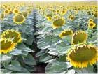 куплю подсолнечник масличный, дорого по луганской области