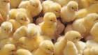 Продам добові курчата оптом та в роздріб!