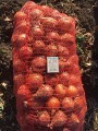 Продается лук Медуза оптом с поля