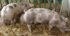 свиньи мясные