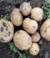 Картофель Ривьера оптом от производителя