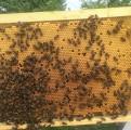 Бджоломатки української степової бджоли 2018