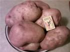Продам картофель сорт Беллароза