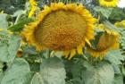 Семена подсолнечника - Нео