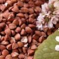 Продам насіння гречки