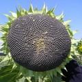 """Семена подсолнечника """"Командор"""", устойчив к 7 рас заразихи"""