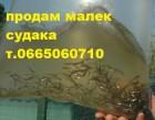Продам (принимаю заказ) малек (зарыбок) судака т.0665060710