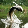 Жива риба