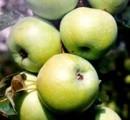 Продам отборные саженцы яблони оптом
