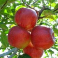 продам яблука спартан, айдаред, джонаголд, симиренка, ріхард - Превью изображения 3