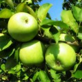 продам яблука спартан, айдаред, джонаголд, симиренка, ріхард - Превью изображения 4
