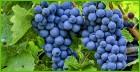 Продам товарный виноград, сорт 1001, Одесская обл. г.Татарбунары.