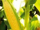 Продам семена кукурузы Тор Seed Gray Compani