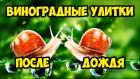 куплю Helix Pomatia