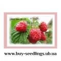 Саджанці смородини, ожини, малини, журавлини, лохини купити в Україні