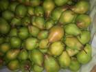 продам грушу Яблунівська