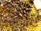 Продам 10 бджолопакетів карпатських бджіл.
