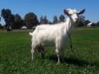 Продам 2 дойные коз