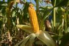 Семена кукурузы среднеранние Артуа ФАО – 270