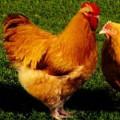 Фокси Чик мясо-яичная порода кур