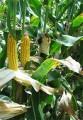 Покупаем  Кукурузу для экспорта