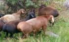 Куплю овец гиссарской породы