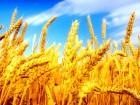 ѕродам пшеницу 3 кл.