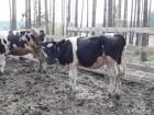 Продаются коровы на держание