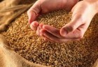 Закупаем зерновые, бобовые, масличные и технические культуры