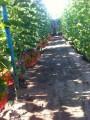 Красивый виноград оптом