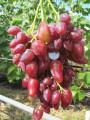 Черенки (чубуки) винограда элитных сортов