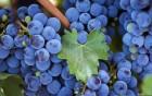 Ќатуральные домашние вино