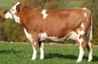 Закупаем коров на мясо всех весовых категорий